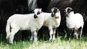 racka bárány eladó